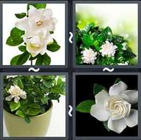 4 Pics 1 Word Gardenia