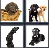 4 Pics 1 Word Levels Labrador
